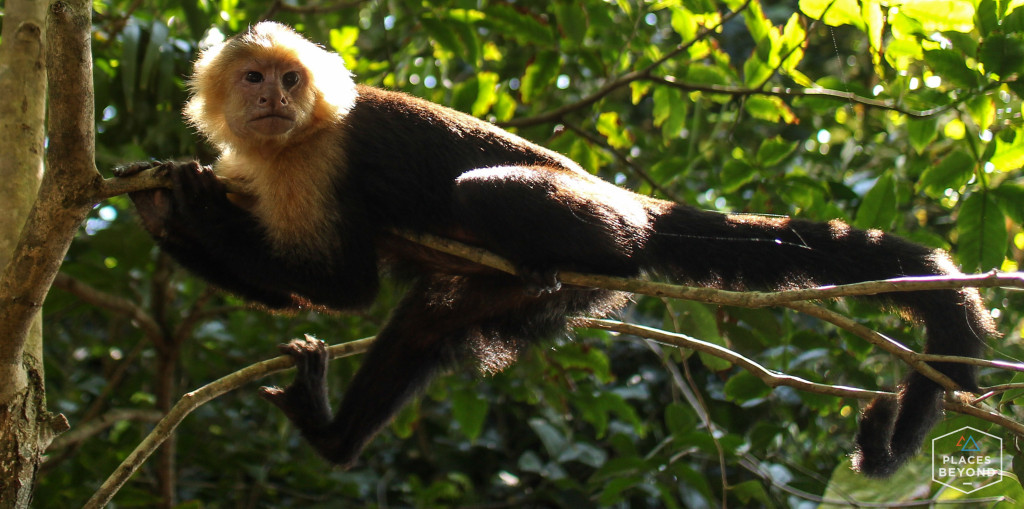 A white-throated Capuchin monkey